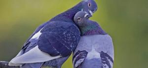 Лечение голубей
