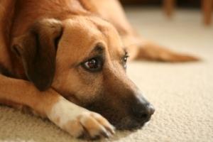 Недержание мочи у собак: симптомы, диагностика, лечение